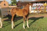 Colt out of International JA Pony La Bamba