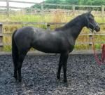 Pretty Significant yearling filly out of TB mare