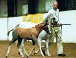 Goodenbergh Sovereign  BEF Higher First Premium Showjumping foal