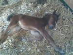 First foal to Raphael born in Italy 2009