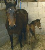Foal by Aimbry Chester out of a 12.2 hands mare