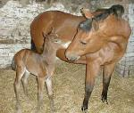 Foal newly born out of a Quarter Horse