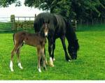 Colt foal out of Section D mare