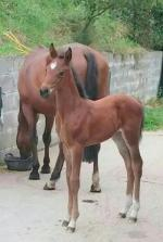 Laureate 4 week old filly out of TB mare