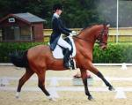 Macklin Dramero competing PSG level dressage working at Grand Prix