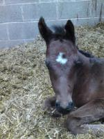 Charlie the first foal just a few hours old