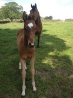 Colt out of KWPN pony