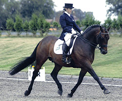 Dressage Pony Stallion at stud