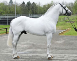 Class 1 Irish Draught Slallion at stud